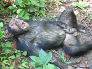 monkey-masturbating