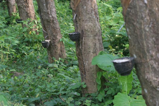 Rubber trees raw latex collecting in bowls.
